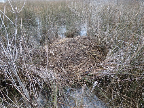 Photo of Muskrat den at Taylors Island Wildlife Management Area