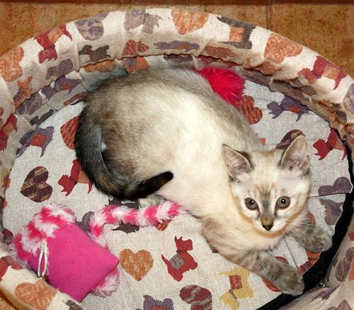 Karina, gatita siamesa tabby preciosa, tímida y muy juguetona esterilizada nacida en Marzo´19, en adopción. Valencia. ADOPTADA. 48088328576_230c732fd4