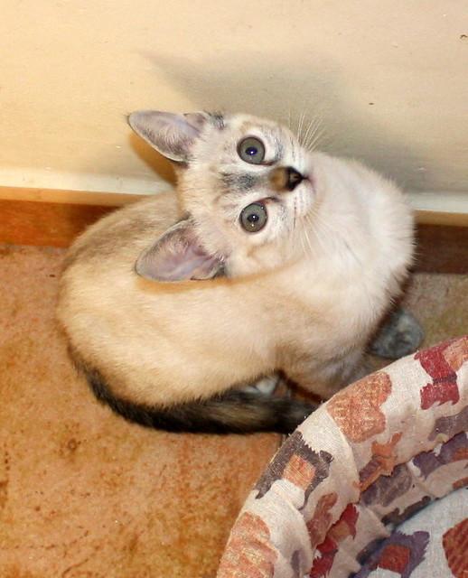 Karina, gatita siamesa tabby preciosa, tímida y muy juguetona esterilizada nacida en Marzo´19, en adopción. Valencia. ADOPTADA. 48088368538_fac1245568_z