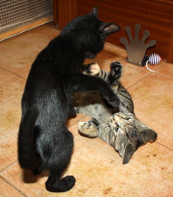 Pocahontas, gatita negra guapísima y dulce esterilizada, nacida en Mayo´19 en adopción. Valencia.  48576780552_33f67c2b6a_z