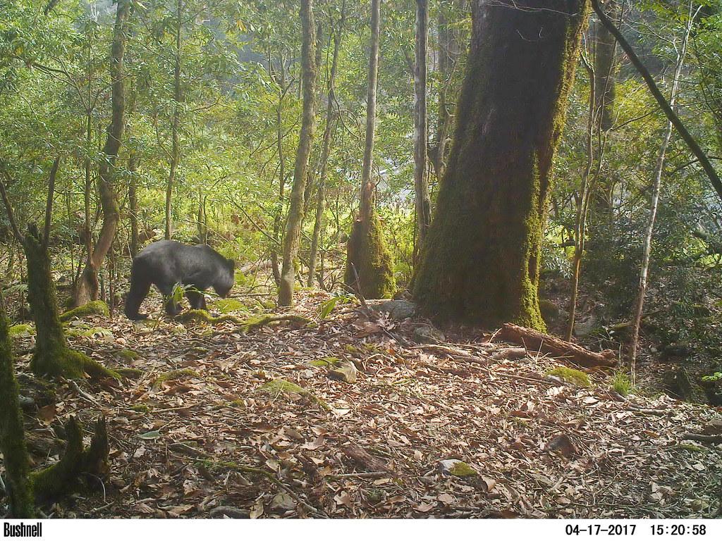 近年來塔塔加及楠溪林道經常有熊出沒,圖為106年楠溪保育研究站紅外線相機拍攝到之黑熊影像。圖片來源:玉管處提供。