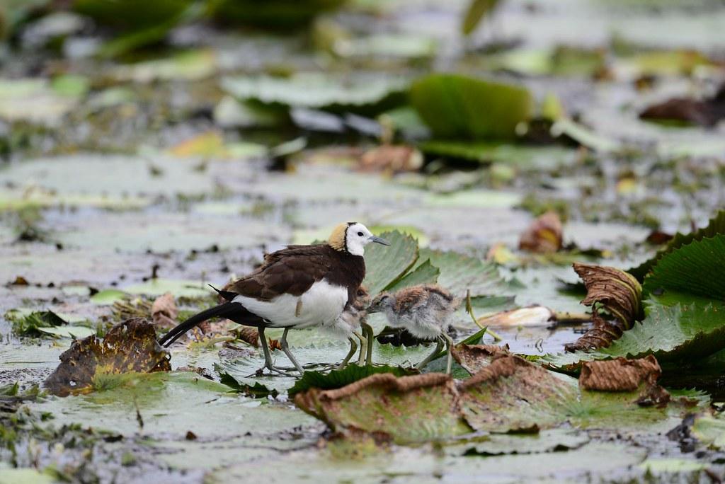 水雉爸要負責照顧小孩,水雉因此得名「疼某鳥」。