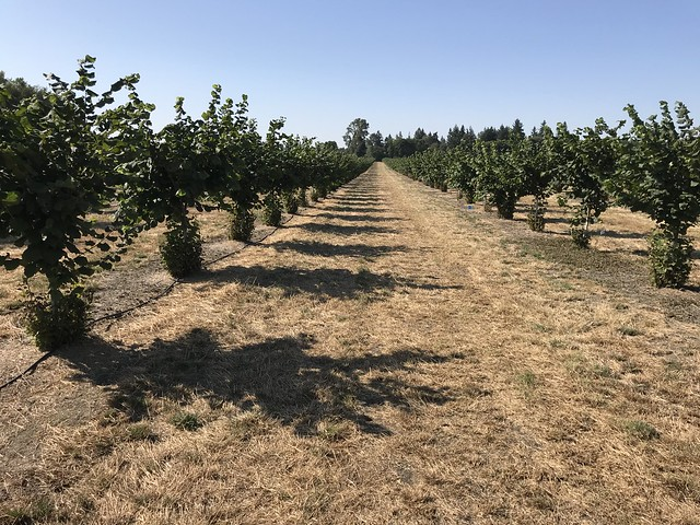 A young hazelnut orchard in the Willamette Valley, Oregon